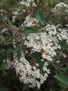 Olearia cheesemanii flowering in spring