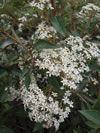 Olearia cheesemanii flowering in spring