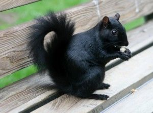 Black Squirrels*As with the eastern grays, black squirrels occupy portions of the eastern and midwestern United States, as well as southeastern areas  of Canada.  And at some time during the past century, the black squirrel  managed to find its way to the British Isles.