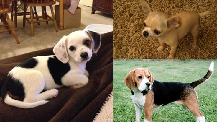 Cheagle, cruce de Beagle y Chihuahua.