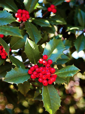Hollies typically are either male or female, so plant a partner nearby to ensure a good crop of berries. Holly prefers well-drained, moist, and fertile soil. Summer is the right time to prune a holly hedge.