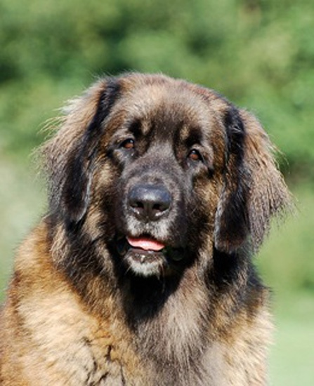 125 best images about Leonberger on Pinterest | Home jobs ...
