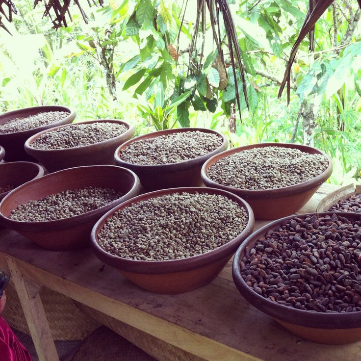 coffee bean plantation