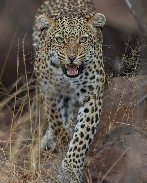Beautiful a Leopard  Photography by @rudihulshof #Wildgeography