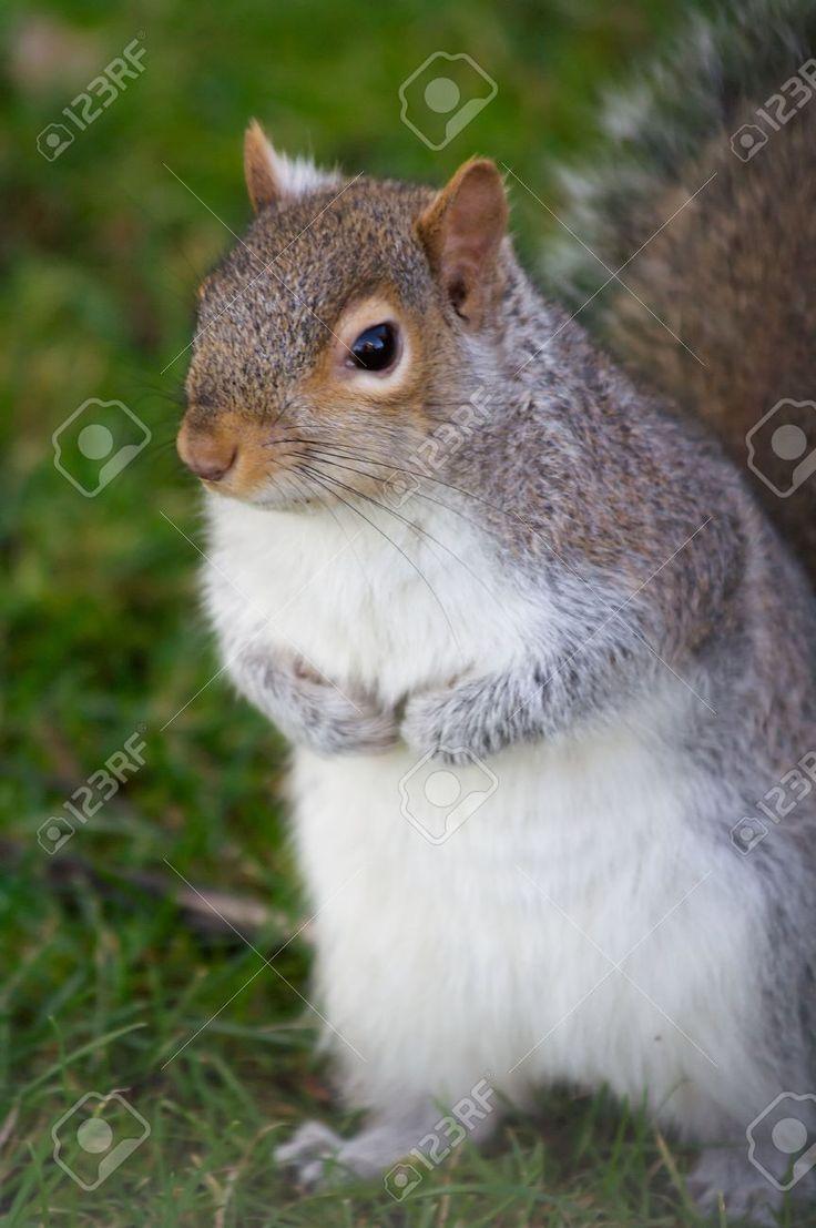 Eastern Gray Squirrel (Sciurus Carolinensis), Or The Grey Squirrel ...