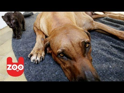 A dog's maternal instincts are AMAZING! Not only will they protect their puppies & help them to survive, but sometimes their maternal instinct goes beyond their own species; just like this Rhodesian Ridgeback mommy! She just gave birth & she's nursing not only puppies, but a baby panther cub too! You can see in the video that she takes care of the cub just like her very own!