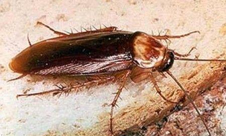 Фото Американский таракан