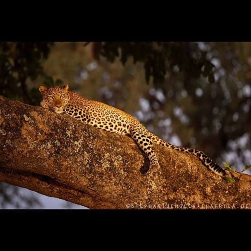 Leopard from the Luangwa valley photographed during the early...