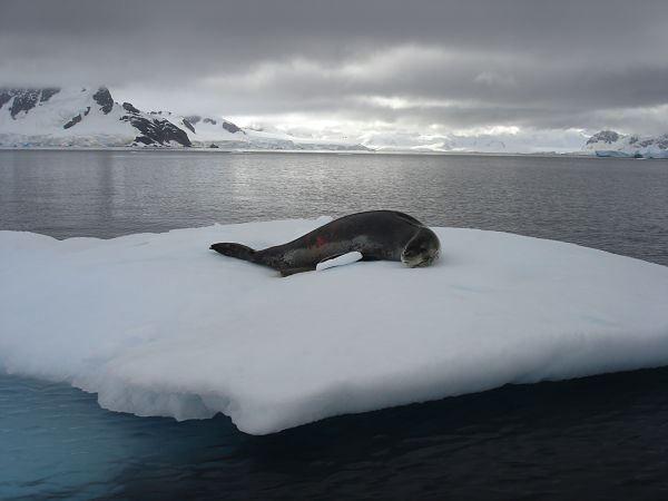 Foca Leopardo #antartida #focas #polosur