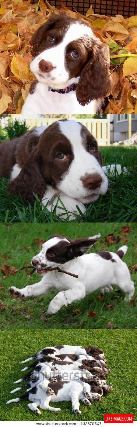 English springer spaniel puppies - 10 PHOTO!