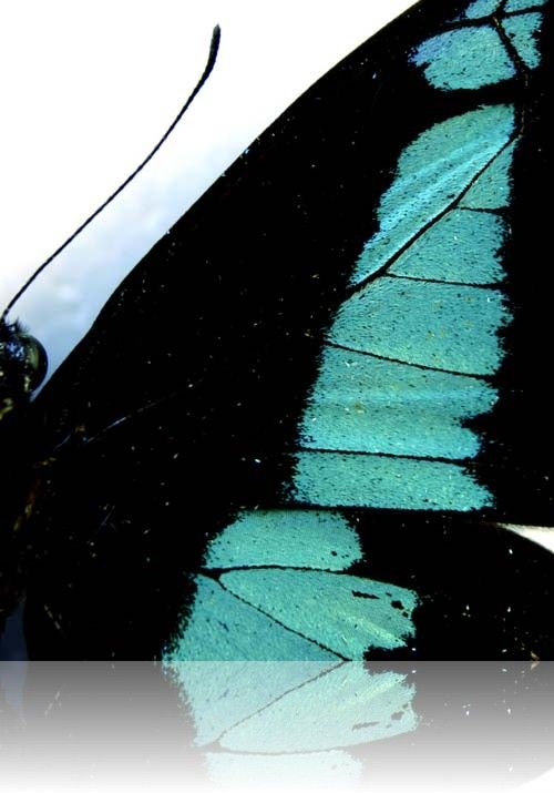 Papilio Butterflies | Physics and Astronomy | University of Exeter