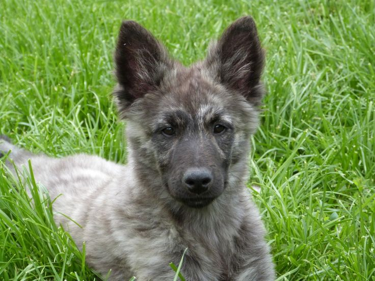 dutch shepherd dog puppy