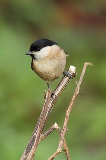 Marsh Tit, Newland's Corner, Surrey | Flickr -Craig Denford