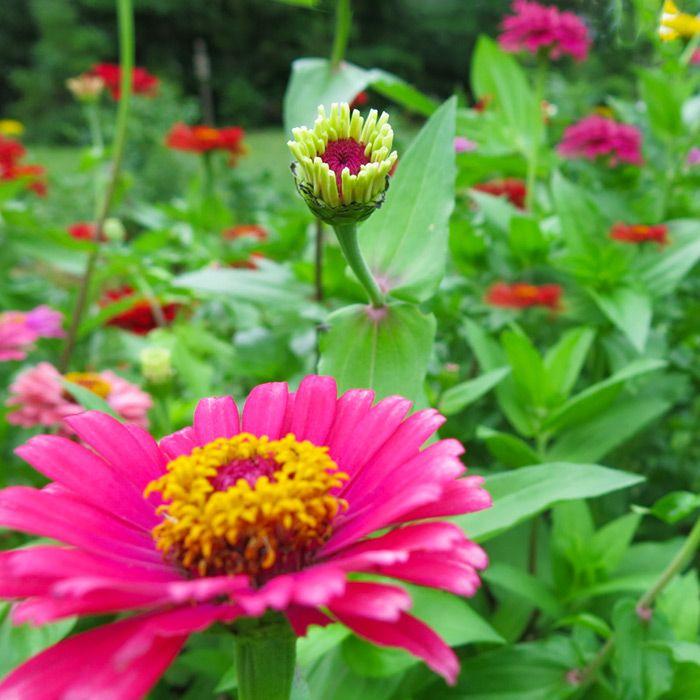 73 Best Full Sun Flowers Images On Pinterest Gardening