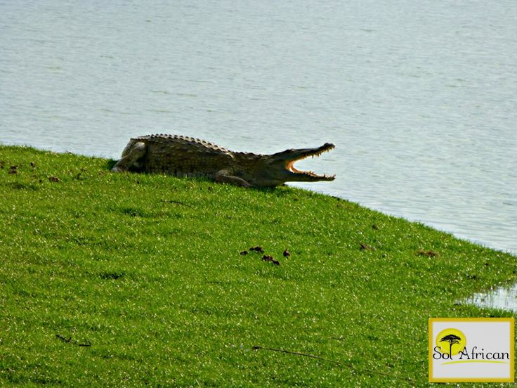 Dangerous shores..#crocodile #Africa #SouthAfrica #adventure #explore #discover #holiday #travel #holidaydestination #idealholiday #fun #wild #wilderness #safari #tour #tourism #tourist #tourismagency #exotic