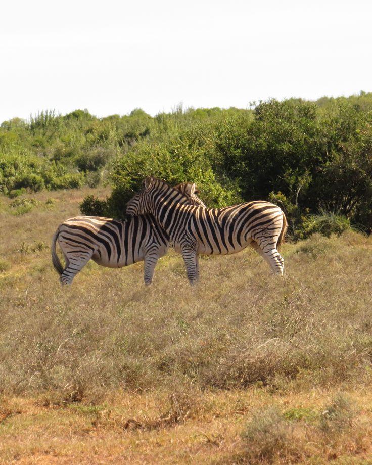 2 Zebras- Taken at Addo Elephant Park, South Africa