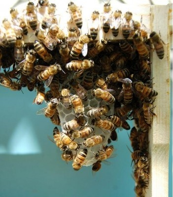 Get Rid Of Bees In Your House...  Really,  You have Bees IN Your House???