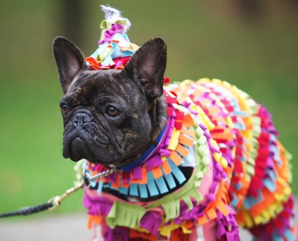 191 best Frenchie costumes images on Pinterest | French bulldog ...