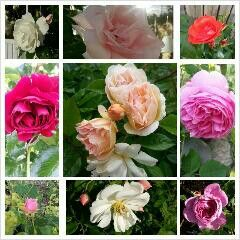 Rosor, Roses