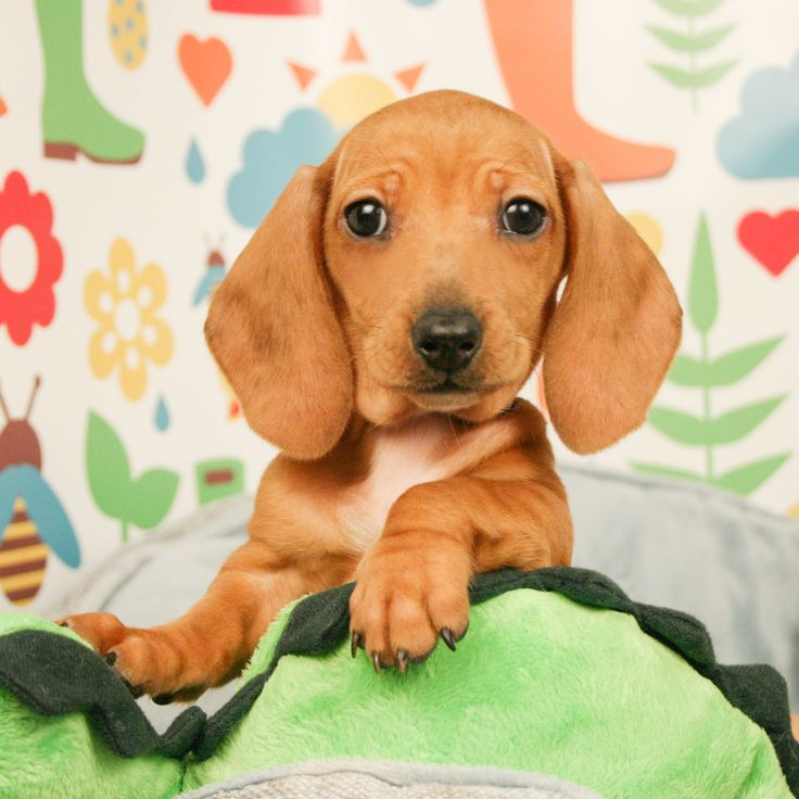 Dachshund Puppies Are Iconic With Their Unmistakable Long Backed