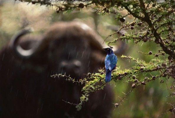 Фото Insight с Джим Бранденбург - глянцевый Скворец и буйвол - фотограф-любитель