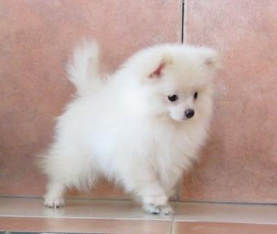 Cachorro Blanco #Pomeranian