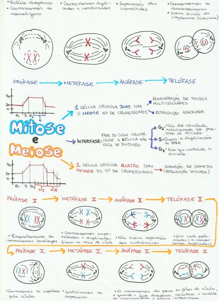 mapa-biologia-mitose-meiose.png (1163×1600)