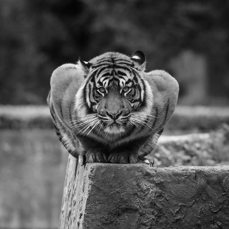 Majestic by Konstantin Tronin - Photo 88882783 - 500px.  #500px #animals #animal #zoo #wildlife #wild #tiger #majestic #pushup #nature #zoo #lookingatcamera #tiger #outdoors #fulllength #nobody #concentration #frontview #lyingdown #augsburg #munich #muc #münchen #stuttgart