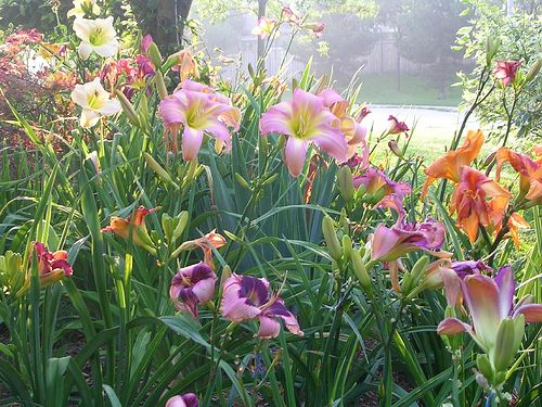 Daylily Garden for the summer