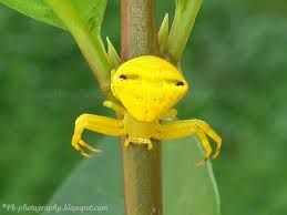 Goldenrod Crab Spiders can change color from yellow to white to match the flowers they live on.  This ability involves transport of yellow and white pigments to the skin surface using information gathered from the eyes, as a spider with painted eyes cannot change its color.