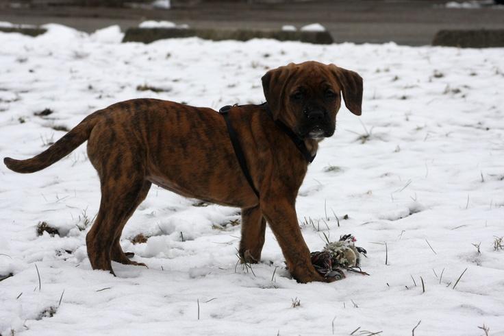 Golden retriever / Boxer mix puppy Boxer mix puppies