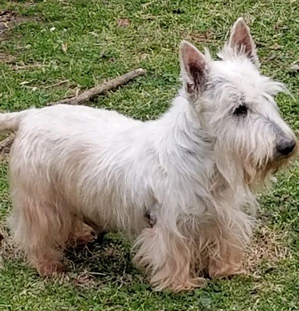 Honey Adoptable Dog Adult Female Scottish Terrier Rescue Dogs