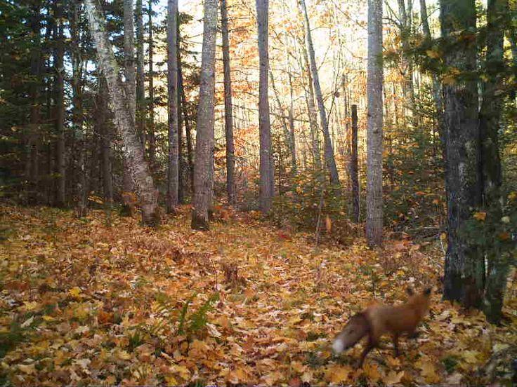 Red Fox-Ashland County