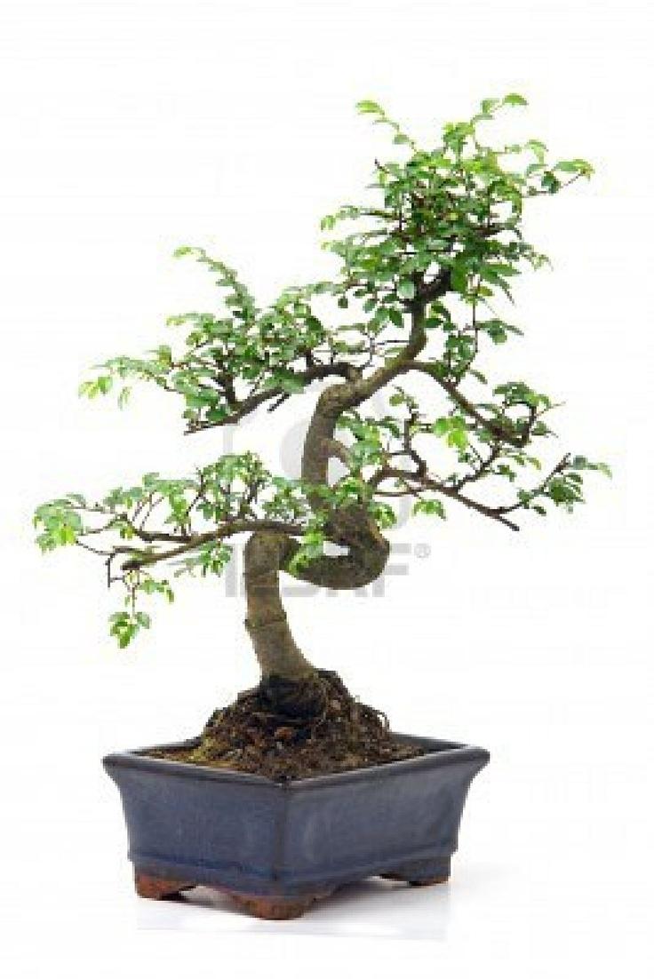 Chinese Green Bonsai Tree Isolated On White Background. #bonsai