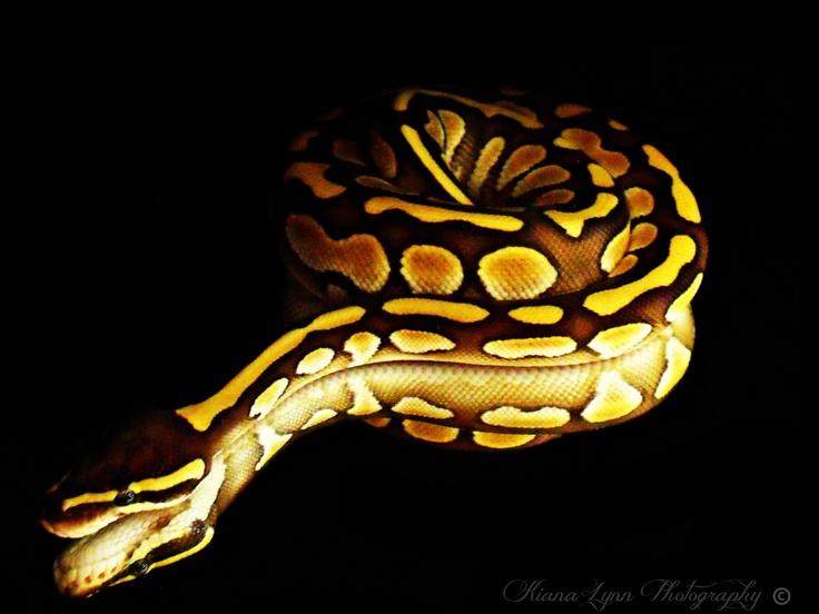 Lesser ball python sitting on mirror with black background.
