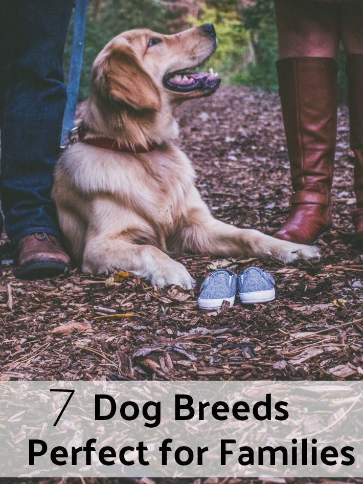 7 Dog Breeds That Are Perfect For Families Training Your Dog Dog Breeds Dog Training