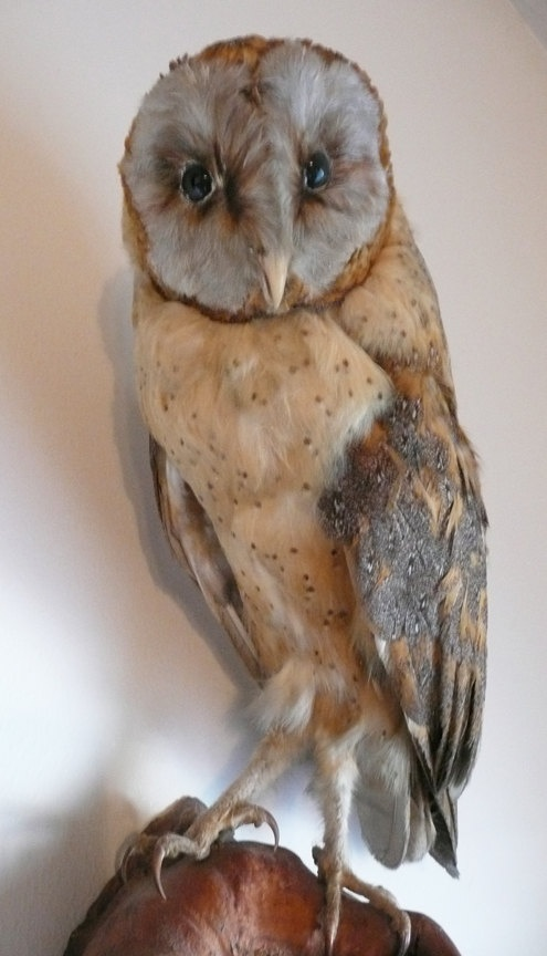 Vintage Taxidermy Barn Owl Wall Mount