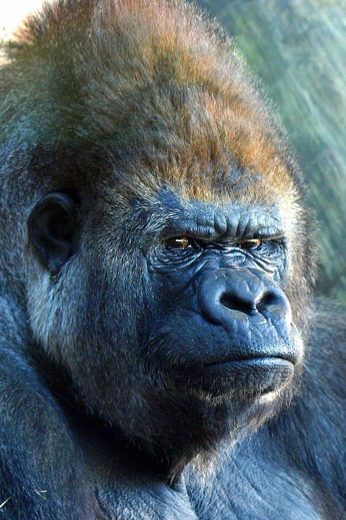 Silverback Gorilla (Gorilla gorilla gorilla) | by Youngest ...