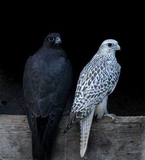 Black and White Gyrfalcons