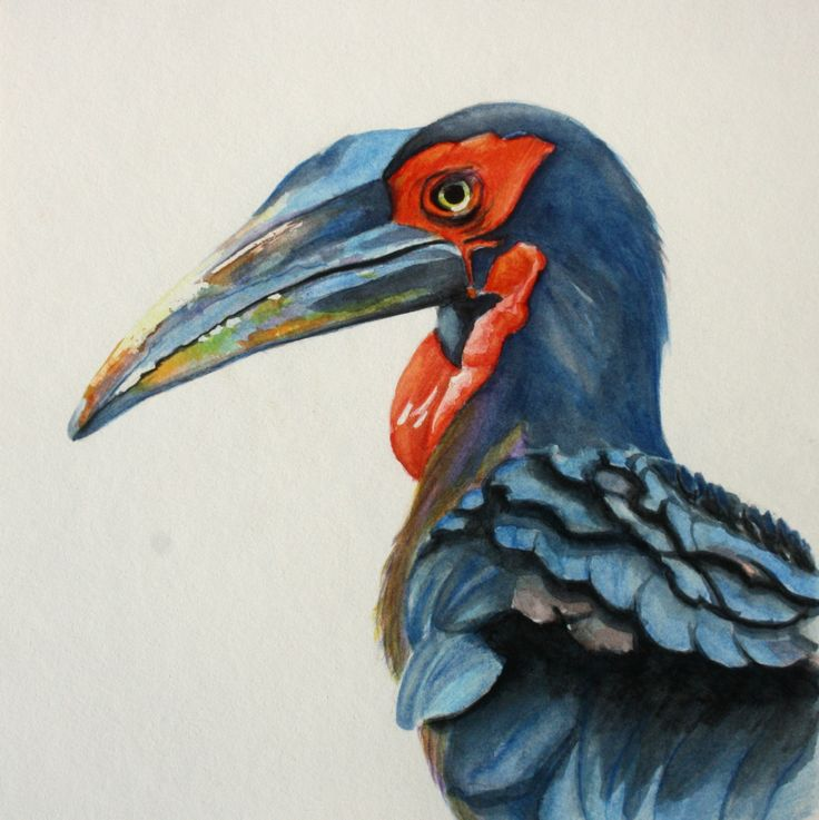 Water colour Bird painting. Ground Hornbill