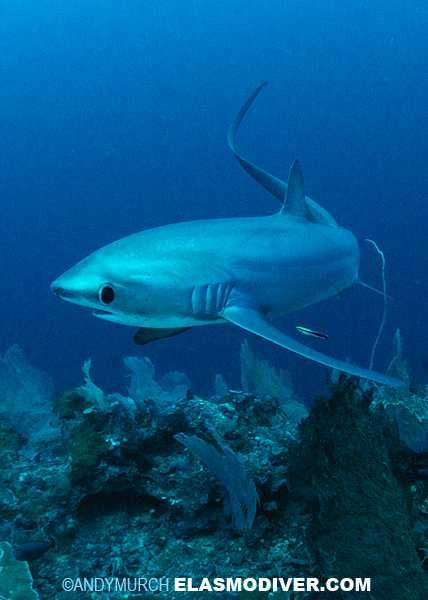Thresher Shark. The shy ones. Their big and round eyes make them look so adorable. (: