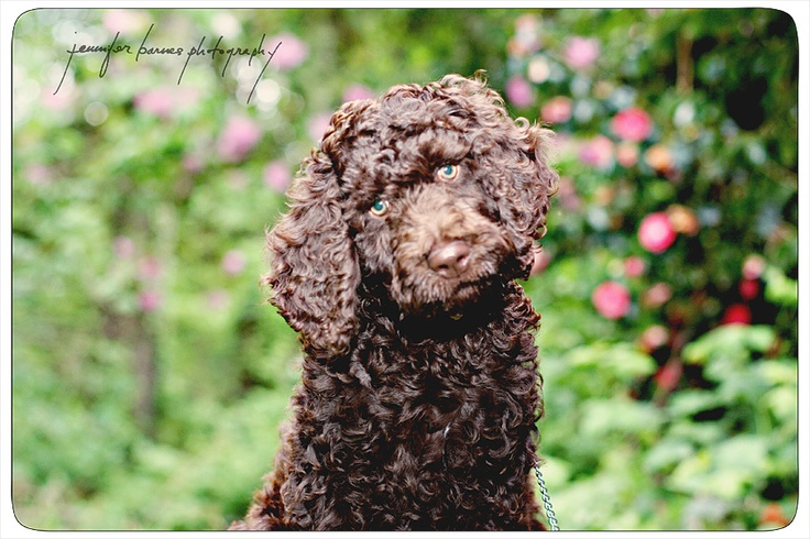 chocolate labradoodle puppy  www.JenniferBarnesphotography.com