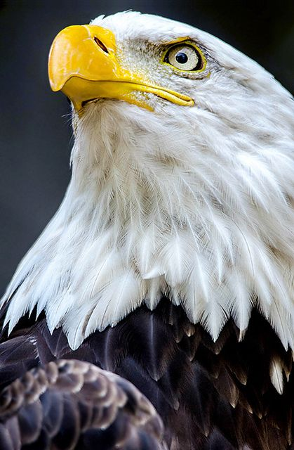Funny Wildlife, Bald Eagle. by Nuao on Flickr. #Bird#Photo