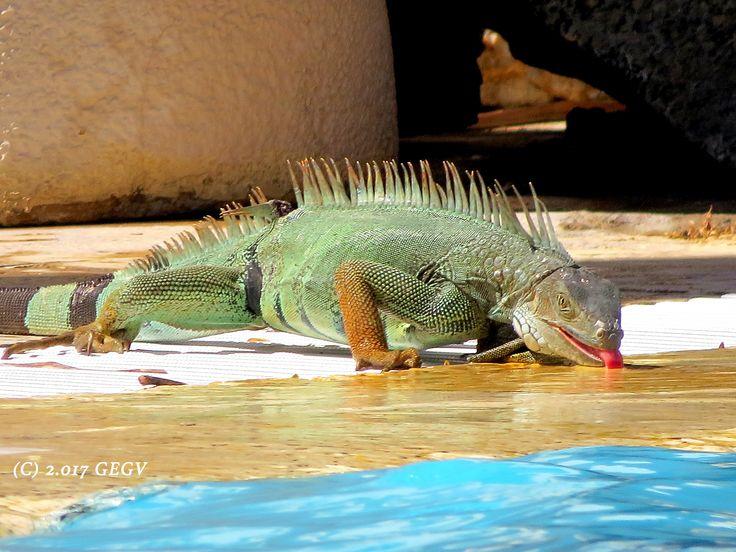 Iguana. Pozos Colorados. Santa Marta, Magdalena, COLOMBIA.