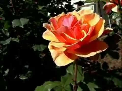 8 Roses With Outstanding Fragrance   Bayer Advanced