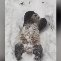 Watch as this panda shows Winter Storm Jonas some love by playing in the snow at the Smithsonian's National Zoo in Washington, DC.
