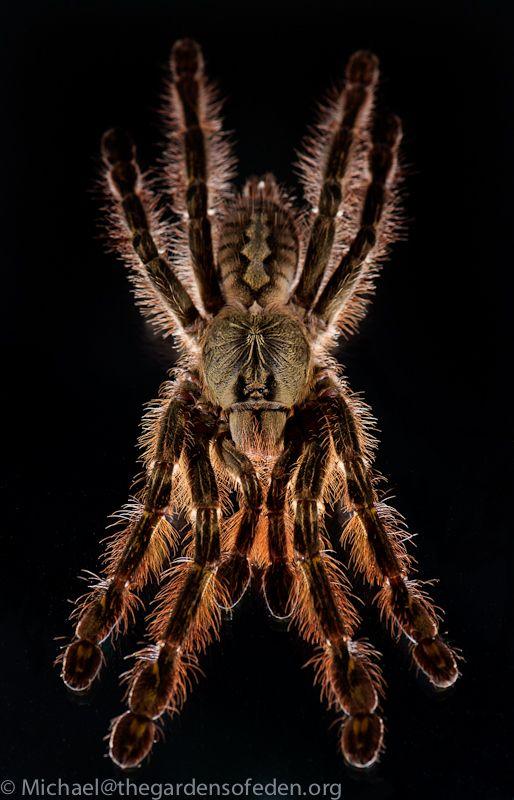 Poecilotheria rufilata, Slate Red Ornamental Tarantula