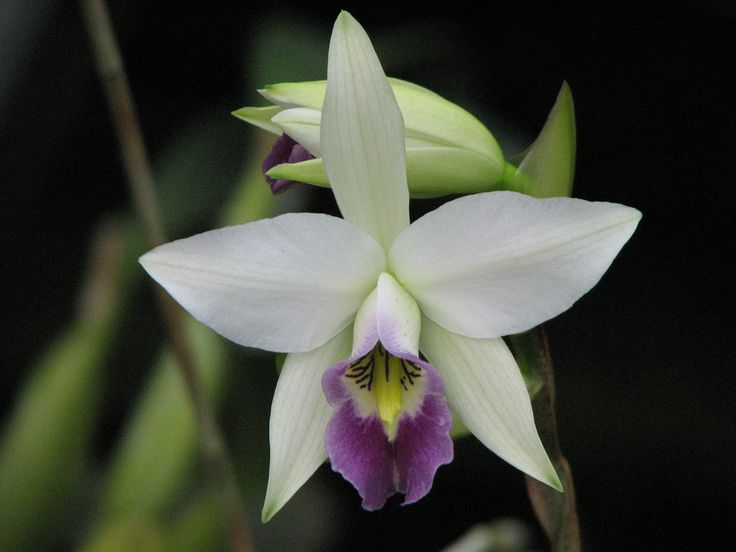 Orchid: Laelia anceps var. veitchiana - Flickr - Photo Sharing!