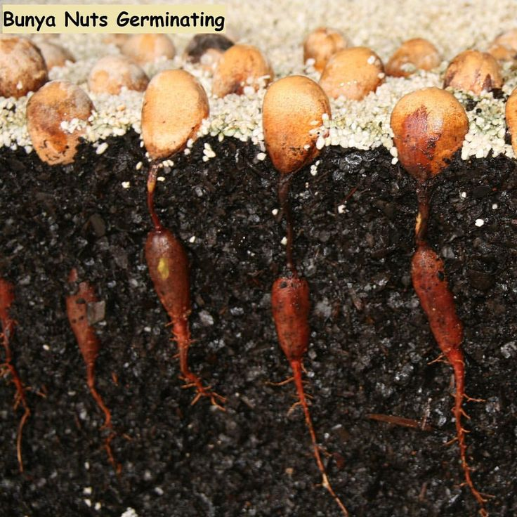 These germinating bunya nuts will take 10 years before they will be ready to produce the large bunya nuts. The trees can tolerate cold temperate weather and subtropical climates that Australia is known for . #bunyanut #nuttree #daleysfruit #australiannatives