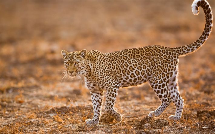 Download wallpapers leopard, africa, wild cat, wildlife, sunset, dangerous animals